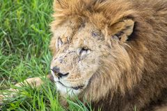 Old male lion in the grass Stock Images