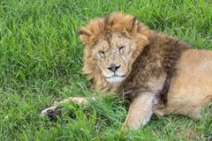 Old male lion in the grass. In Safaripark in Crimea, closeup Royalty Free Stock Images