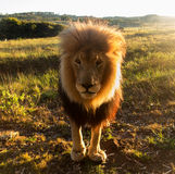 Old male lion in the grass in Southern Africa Royalty Free Stock Photo