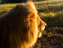 Old male lion in the grass in Southern Africa. Close up of an old large male lion in profile and facing the rising sun in the wild savannah in South Africa Stock Images