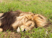 Old male lion in the grass in Southern Africa Stock Photography
