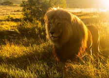 Old male lion in the grass in Southern Africa. Close up of an old large male lion with the sun shining brightly on his mane in the wild savannah in South Africa Stock Images