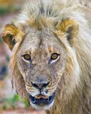 An old Male Lion looking alert and directly in camera. An alert Full Framed Male Lion Panthera Leo face looking directly into camera in South Luangwa National Stock Image