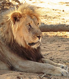An old male lion resting next to a dead log Stock Photography