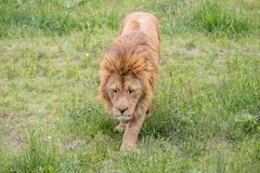 Old male lion walking in the grass. Old male lion walks in the grass in Safaripark in Crimea, closeup Stock Photo