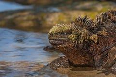 Old Male Marine Iguana Stock Image