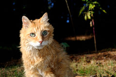 Old Male Orange Cat Royalty Free Stock Images