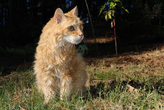 Old Male Orange Cat Stock Photos