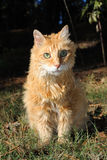 Old Male Orange Cat. A geriatric 18 year old Male Orange cat with green eyes sitting comfortably outdoors Royalty Free Stock Photo