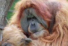 Old male Orangutan 02 Stock Images