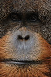 Old male orangutan closeup Stock Images
