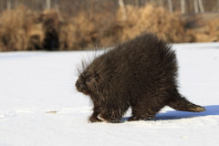 Old male porcupine walking in snow Stock Photography