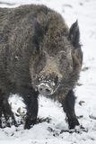 Wild boar in winter Stock Photography