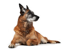 Old malinois. Old purebred belgian sheepdog malinois laid down in front of white background Stock Image