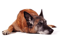 Old malinois Stock Photos