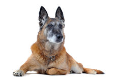 Old malinois. Old purebred belgian sheepdog malinois laid down in front of white background Royalty Free Stock Photo