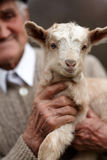 Old man with baby goat Royalty Free Stock Photo