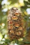 Old Man Banksia Plant Royalty Free Stock Photos