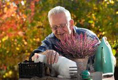 Old man with cat doing gardening work. Senior man transplanting flower in garden while small white cat sitting on table and making his company Stock Photos