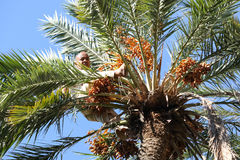 Old man climbing on palm tree in oasis Stock Photography