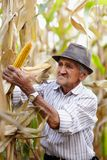 Old man at corn harvest. Closeup of old man at corn harvest Royalty Free Stock Photography