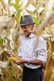 Old man at corn harvest Stock Image