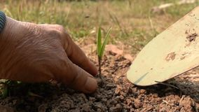 Old man dig the ground and plant a small palm tree. Old man dig the ground with shovel and plant a small palm tree in Slow Motion stock video