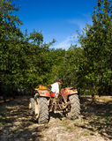 Old man driving in reverse his tractor. Senior farmer driving in revers his tractor, through an orchard of plum trees Royalty Free Stock Image