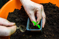 The old man engaged in transplanting tomato seedlings.  Stock Photo
