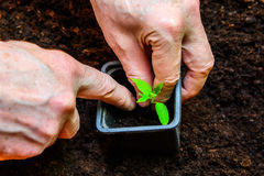 The old man engaged in transplanting tomato seedlings.  Royalty Free Stock Photography