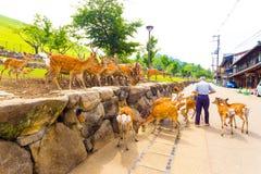 Old Man Feeding Nara Deer Herd Stock Photo