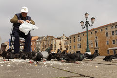 Old man feeding pigeons with bread Stock Images