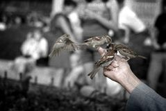 Old Man Feeding Sparrows Royalty Free Stock Images