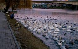 Old man feeding swans Stock Image