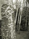 Old Man of the forest. A mature aspen tree with strong focus on the trunk, showing damage caused from wildlife and age stock image