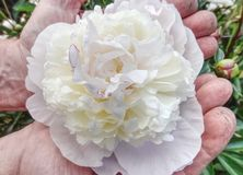 Old man gardener hands hold rich peony flower in blossoms. Sweat smell big flower in garden work vintage trimming tree tool sweaty summer spring skin shears royalty free stock photography