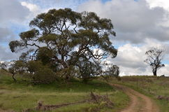 Old man gum tree Stock Photo
