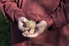 The old man hands holding potatoes for planting Stock Photo