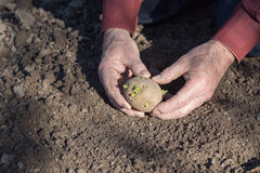 The old man hands planting potatoes Stock Photography