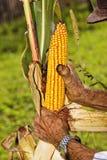 Old man harvesting corn Stock Photos