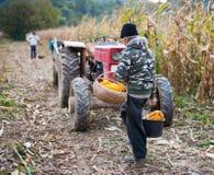 Old man harvesting corn Royalty Free Stock Photography