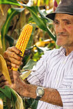 Old man harvesting corn Royalty Free Stock Photos