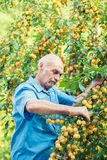 Old man harvesting yellow plums royalty free stock images