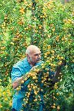 Old man harvesting yellow plums stock images