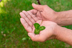 The old man holding a clover leaf. In his hands Royalty Free Stock Photo