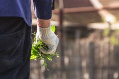 Elderly man holds in his hand the weeds collected in the garden stock photo