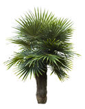 Old man palm tree isolated Royalty Free Stock Photography
