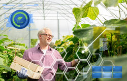 Old man picking cucumbers up at farm greenhouse Stock Image