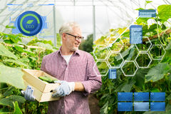 Old man picking cucumbers up at farm greenhouse Royalty Free Stock Photo