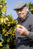 Old man picking fruit Royalty Free Stock Image